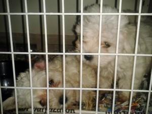 Forestale salva 106 cuccioli cani, due denunce